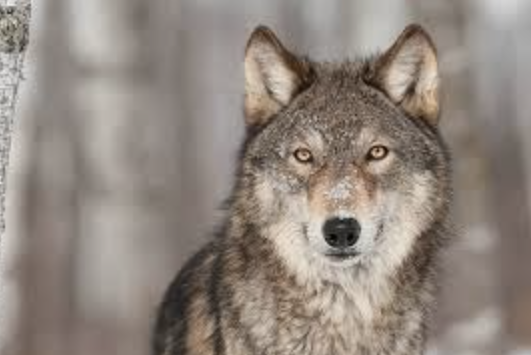 Colorado votes to reintroduce wolves: